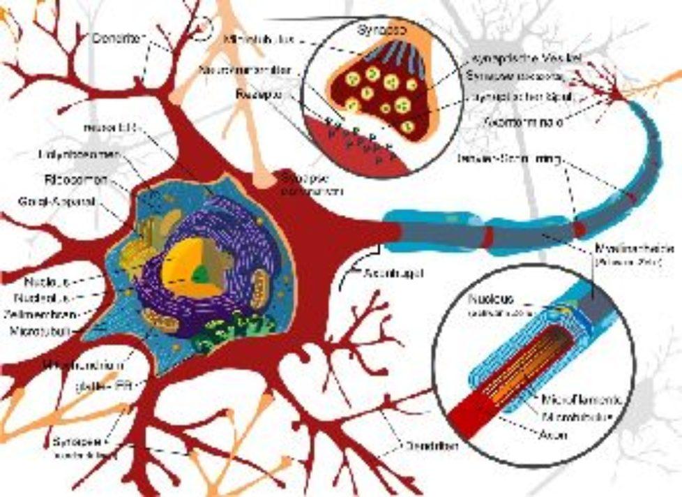 Nervenzelle