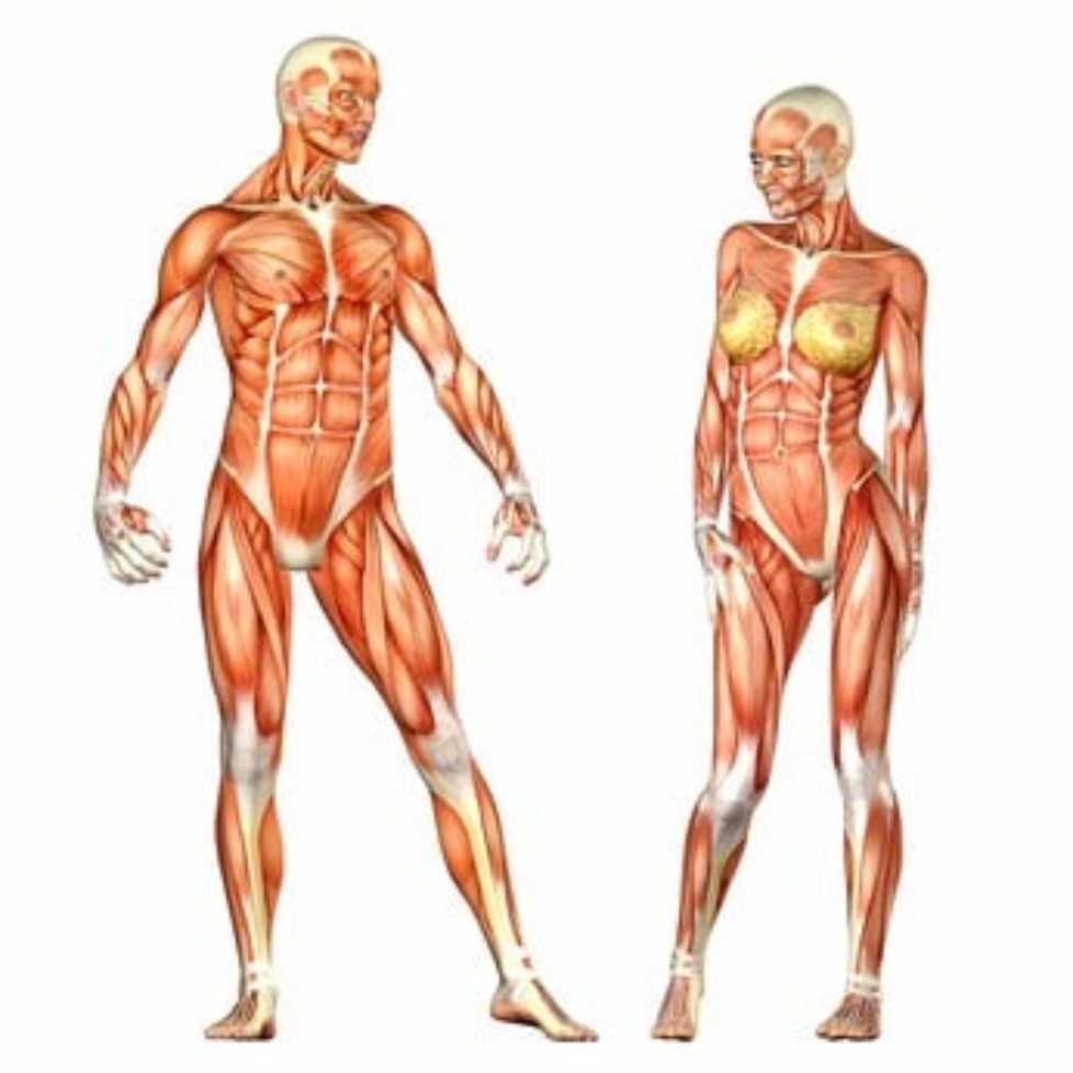 Human Body Anatomy - Male and Female